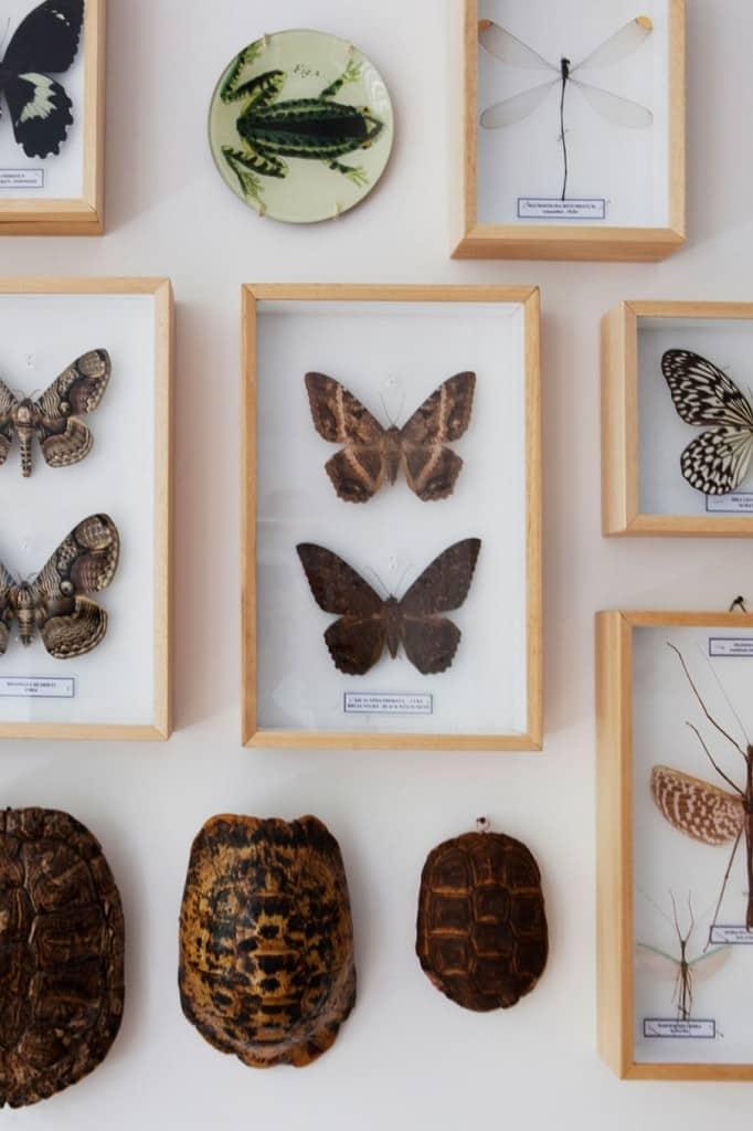 papillon AMS
