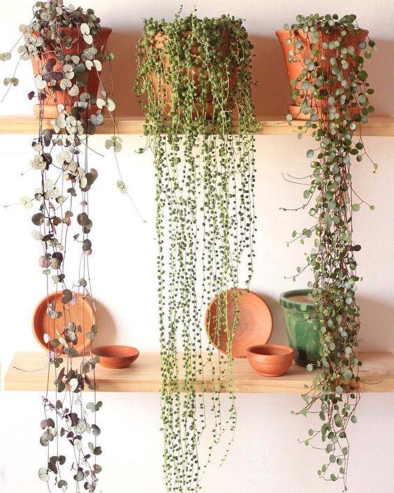 Senecio et Chaînes des coeurs, les plantes tendances dans notre intérieur