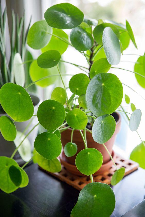 Pilea, la plante chouchou de notre intérieur