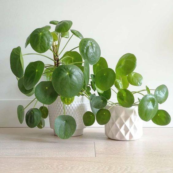 Pilea, plante tendance intérieur