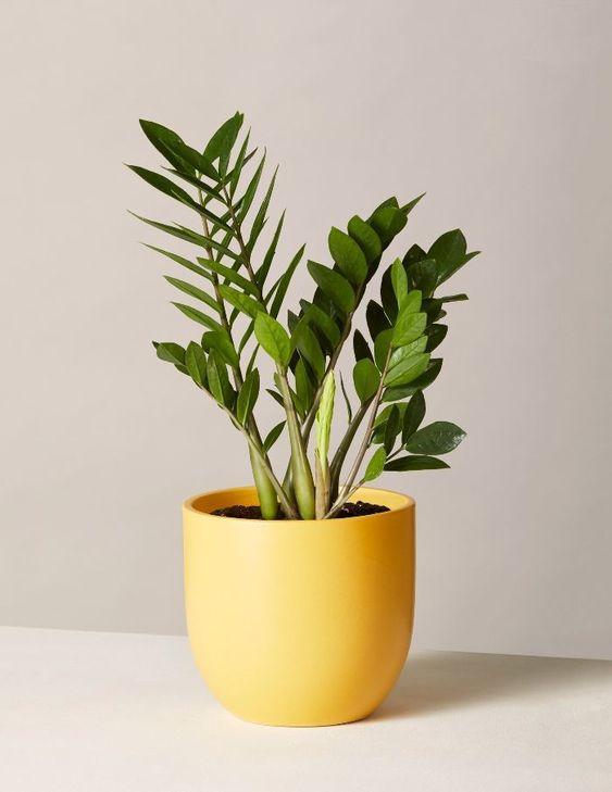 Plante ZZ, la nouvelle plante chouchou de nos intérieurs