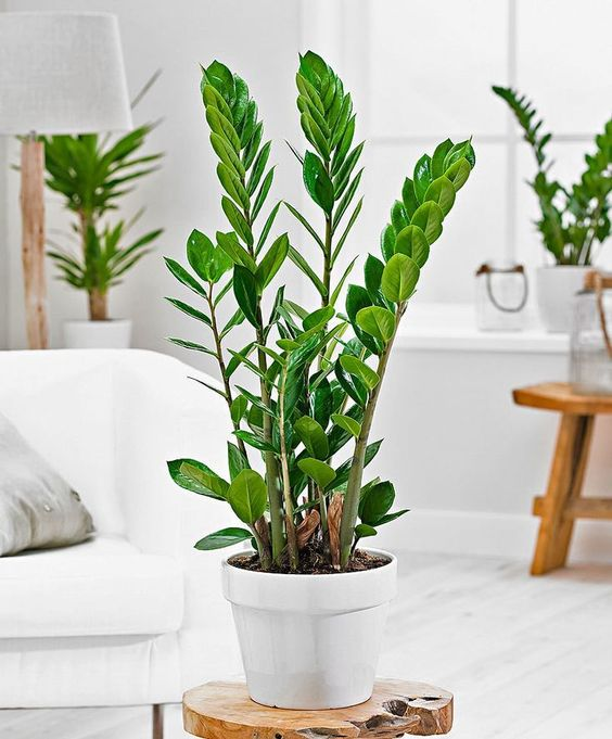 Une plante tendance pour notre intérieur, facile à cultiver et à entretenir