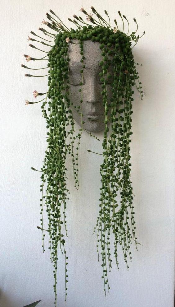 Senecio la plante collier de perles qu'on adore