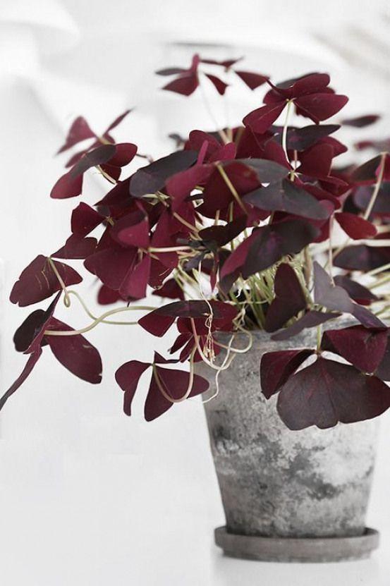 Oxalis, la plante trèfle pourpre tendance dans notre intérieur